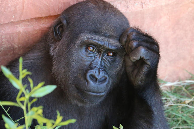 gorilla-1031235_1920.png